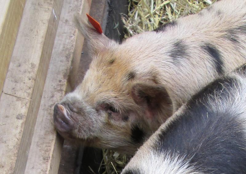 Winchester farmer's market hog